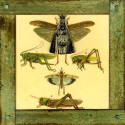 Calabrese_2_Mama Grasshopper